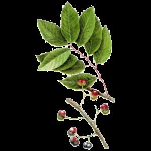Pygeum africanum - Slivoň africká