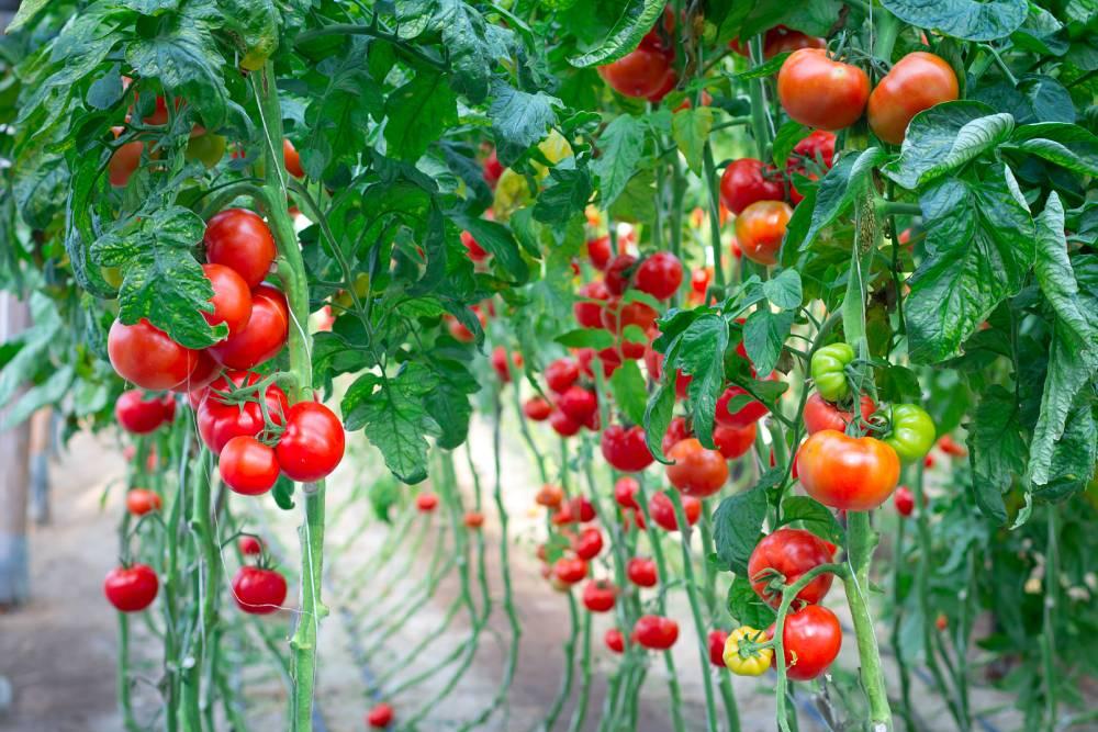 lykopen v potravinách rajčata